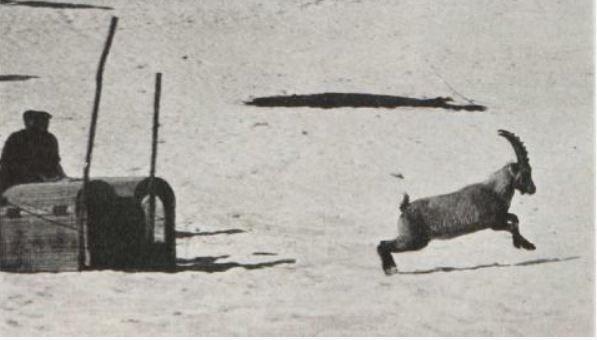 Bouquetins lacher dans les Cerces 1959