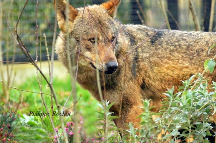 Loup zoo vincennes mars 2016 signé (Copier) bn2
