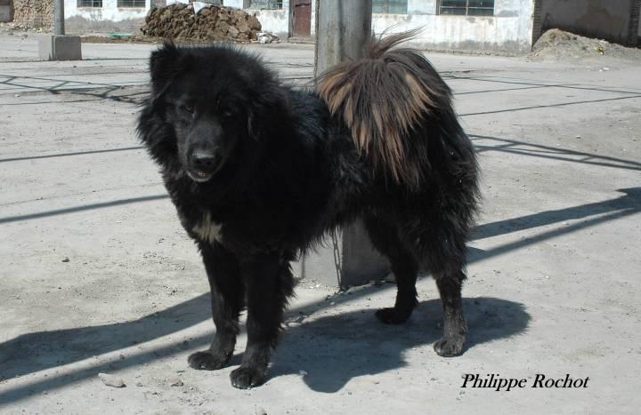 Tibet Qinghai 2006 (14)mastif tibétain signé