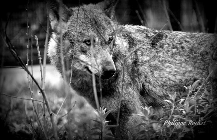 Loup zoo vincennes mars 2016 signé b