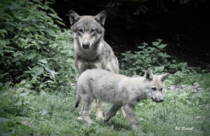 Loups du Mercantour 2013 (10)signé_modifié-1 (Copier)